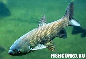 Белый амур рыба