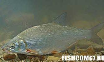 Рыбец рыба