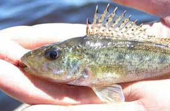 Рыба ерш