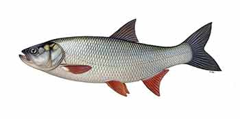 Рыба жерех