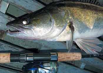 Пресноводная хищная рыба