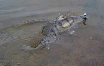 Хищные рыбы