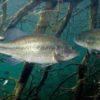 Рыба басс