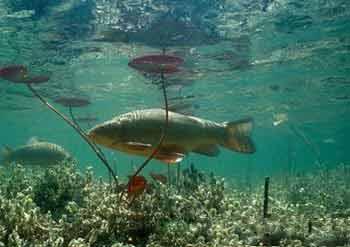 Прудовая рыба
