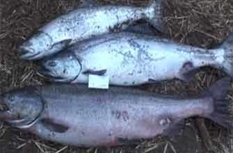 Рыбалка на Камчатке видео