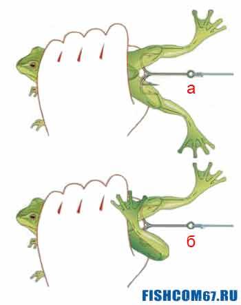 Как правильно насаживать лягушку на крючки
