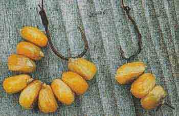 Ловля карпа на кукурузу