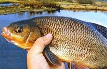 Язь рыба