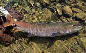 Таймень рыба