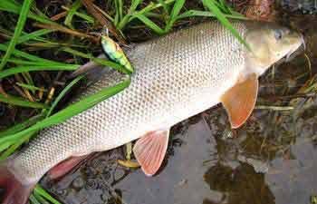 Усач рыба