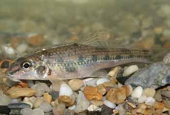 Рыба пескарь