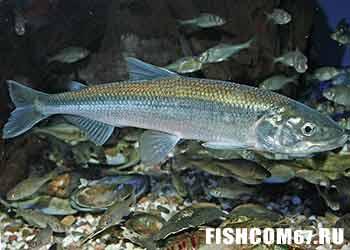 Корюшка рыба