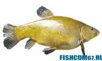 Линь рыба