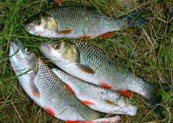 Голавль рыба