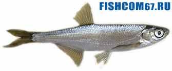 Уклейка рыба