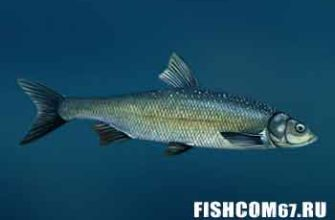 Вырезуб рыба
