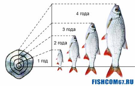 По чешуе рыбы можно узнать ее возраст