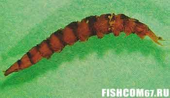 Личинка мухи-бекасницы
