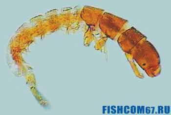 Личинка ручейника-гидропсихе
